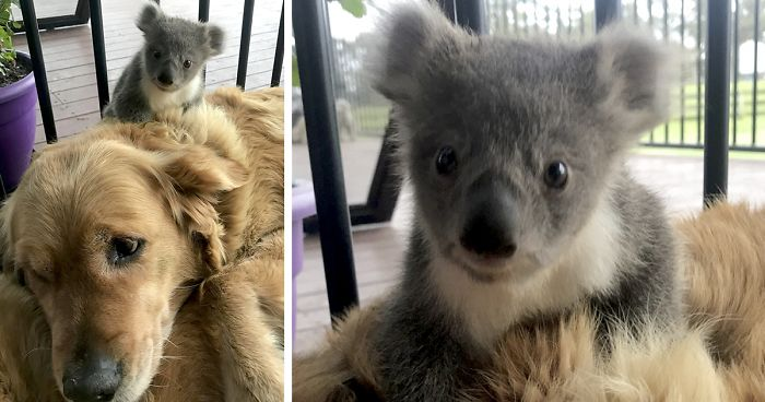 Golden Retriever Surprises Owner With A Baby Koala Whose Life She Just Saved