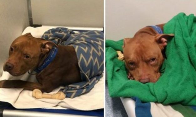 Big Strong Shelter Pooch Loves Being Tucked In Like A Baby Each Night