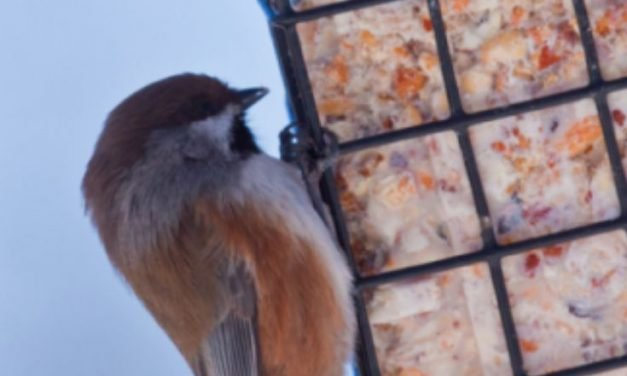 Homemade bird food recipe: Suet How to make Suet for winter birds.  HOMEMADE BIRD FOOD RECIPE: SUET HOW TO MAKE SUET FOR WINTER BIRDS