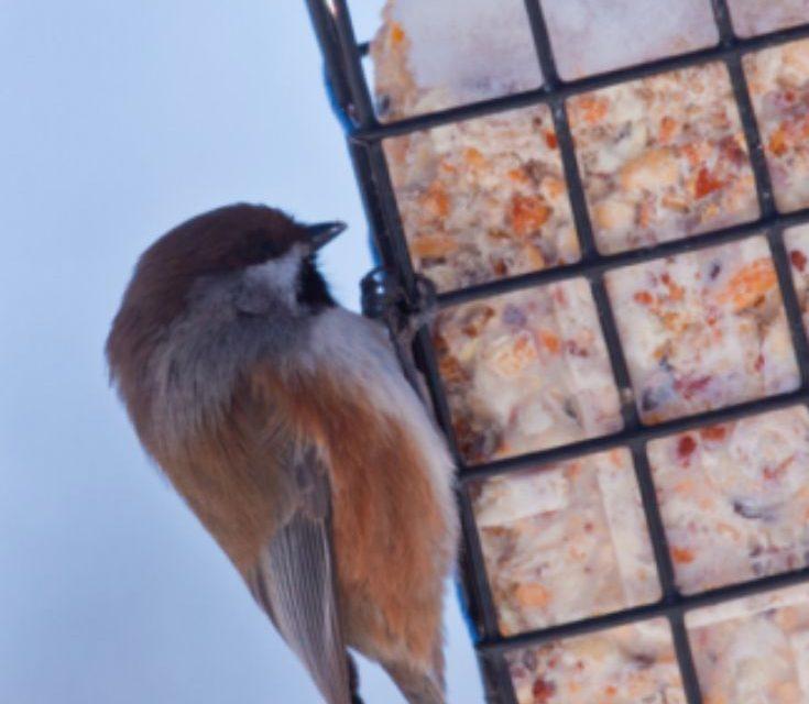 Homemade bird food recipe: Suet How to make Suet for winter birds.  HOMEMADE BIRD FOOD RECIPE: SUET HOW TO MAKE SUET FOR WINTER BIRDS
