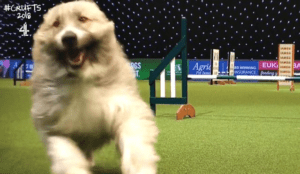 Free Spirited Rescue Dog Steals The Show At Crufts Agility Two Years Running