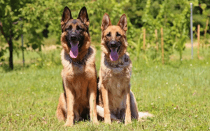10 Dog Breeds That Make The Best Guard Dogs