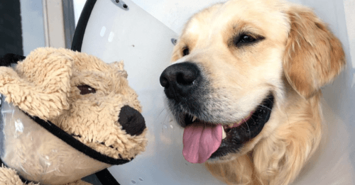Golden Retriever Needed A Cone, So His Favorite Plushie Got One Too