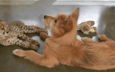 Abandoned Baby Cheetah Becomes Best Friends With A Rescue Dog