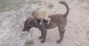 Dog Carries Abandoned Baby Monkey to Safety