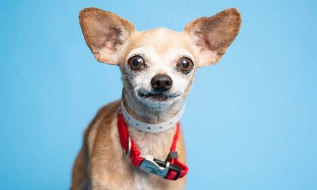 A sweet dog with a mischievous side and more up for adoption in Valley shelters