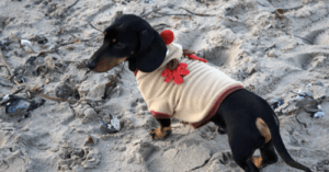 Get Ready For A Dachshund Christmas Flash Mob In Edinburgh!