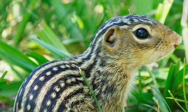 How Hibernating Squirrels Survive Eight Months Without Water