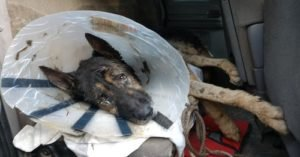 Thunder The Wonder Dog: The Cone Dog From The Woods Is Healing And Looking For A Family