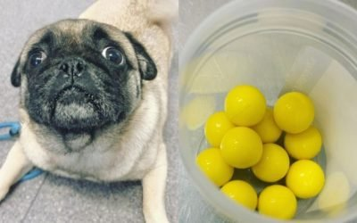 'To my shock he'd eaten 11': Hungry pug takes on Hungry Hungry Hippos