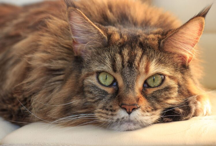 Things to Know Before Getting a Maine Coon Cat
